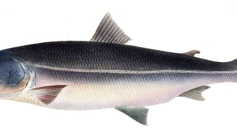 Oncorhynchus masou, il salmone giapponese