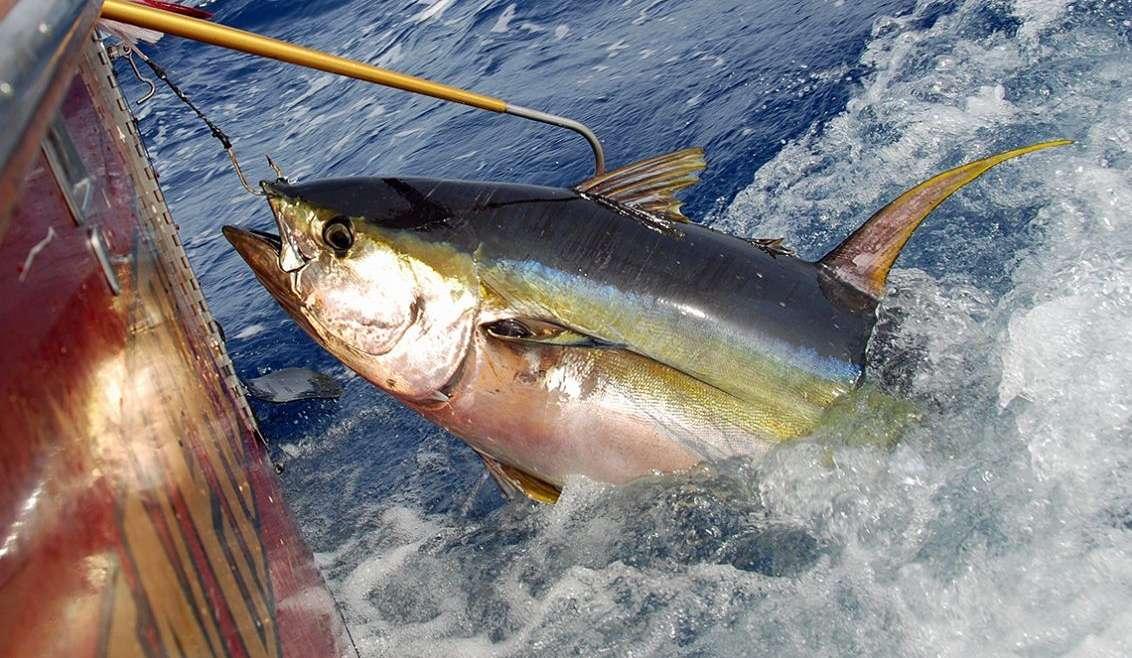 Il tonno indonesiano alla conquista del Sushi