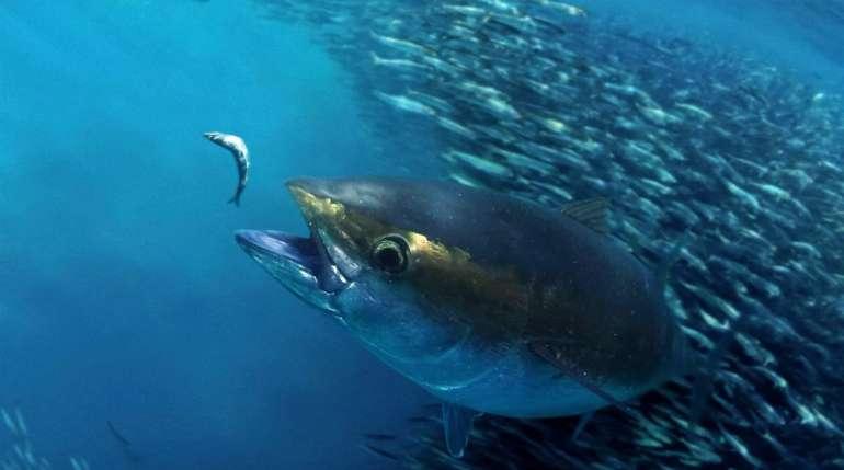 La passione per il sushi fa aumentare la pesca del tonno